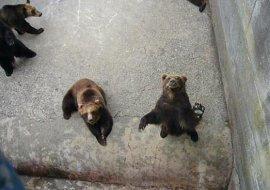 昭和新山熊牧場のエゾヒグマ