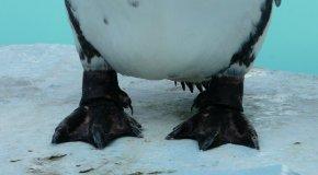 フンボルトペンギンの足